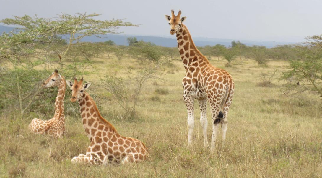 Voluntarios observando a la jirafa Rothschild durante su voluntariado ambiental en Kenia.